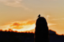 Silhouette Of Bird On Cactus A...