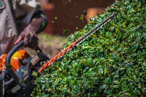 Slika na platnu Close up shot of a landscape worker using a hedge trimmer to prune a holly bush