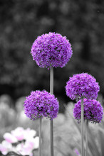 Colorsplash Of Allium Flowers