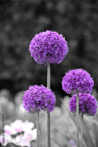 Colorsplash of allium flowers Fototapet