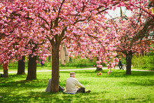Old Man Sitting Under Pink Cherry Blossom Tree In Full Bloom On A Spring Day