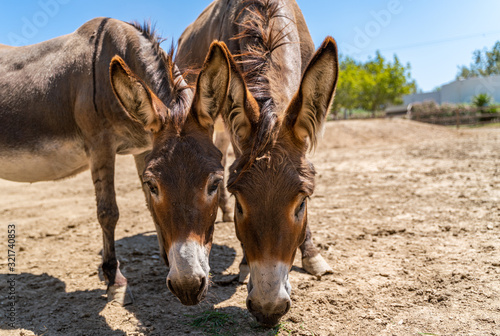 Fotografie, Tablou Two donkeys have in the summer sky