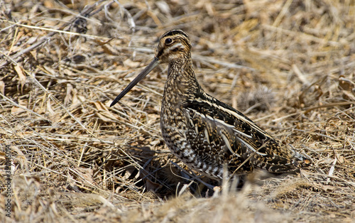 Photo Wilsons Snipe basking in the warm sun on an early spring day