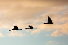 Group Of Sandhill Cranes Flyin...