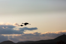 Group Of Sandhill Cranes Flyin...
