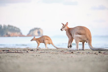 Wild Kangaroos And Wallabies O...
