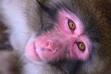 Close Up Snow Monkey Face. Jap...