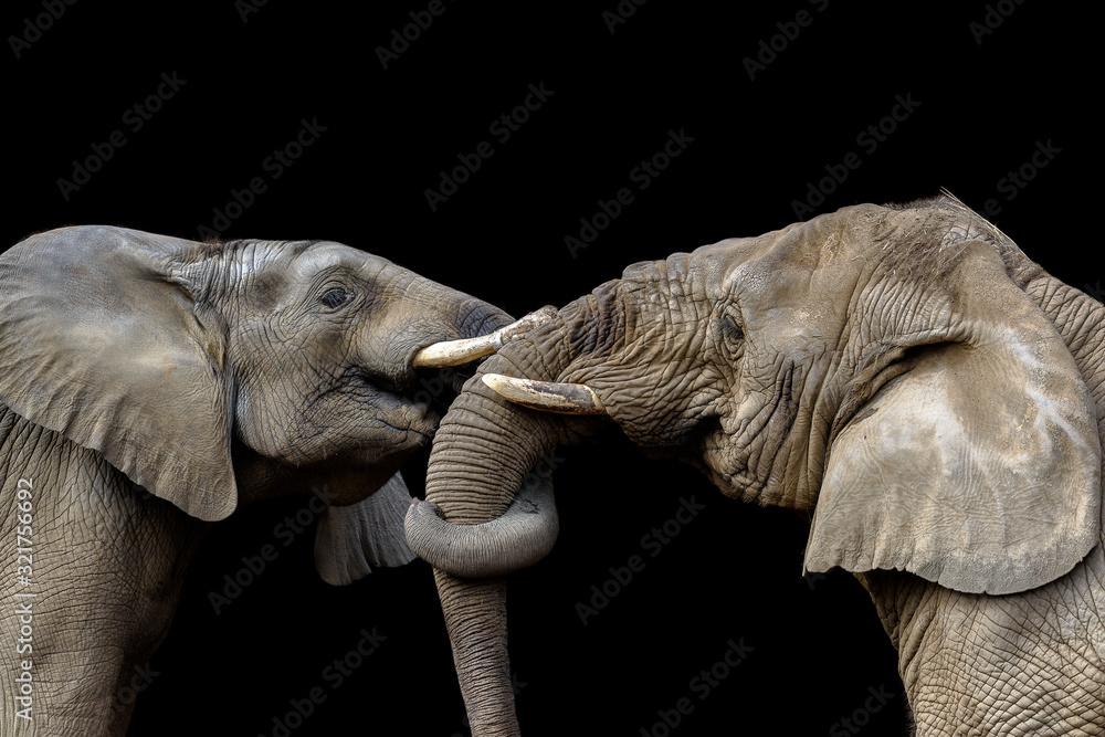 Fototapeta Elephants fighting together