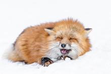 Japanese Red Fox Sleeping In T...
