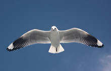 Seagulls Are Even More Beautif...