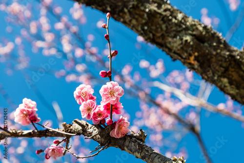 Fotografía 春を告げる紅梅