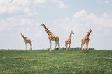 Fototapeta Sawanna - Four tall giraffes standing together in savanna park on summer day. Big exotic African animals walking on meadow looking watching around. Beauty in nature. Wild species in their natural habitat.