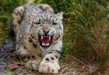 Snow Leopard Growls Menacingly...