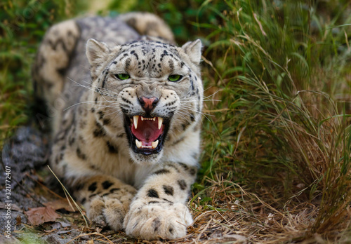 Fényképezés Snow Leopard growls menacingly and wants to attack