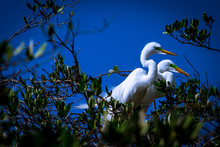 Great White Egret On Blue Sky Background