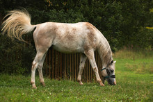 White Speckled Horse On A Padd...