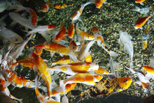 Beautiful Koi Fish (Cyprinus C...