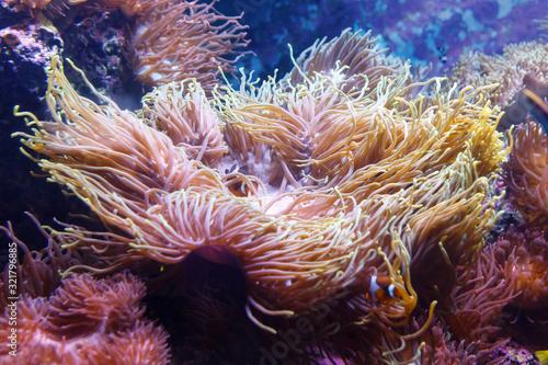 Leinwand Poster Giant Carpet Anemone, Heteractis Magnifica, Marine biology, Sea anemone