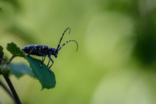 Japanese Longhorn Beetle