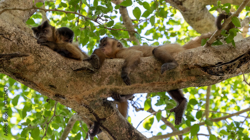 Photo Drei Kapuzineraffen halten Siesta auf einem Baum