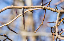 The Spines On The Branches Of...