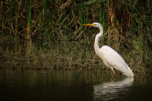 Great Egret (Ardea Alba) Or Co...