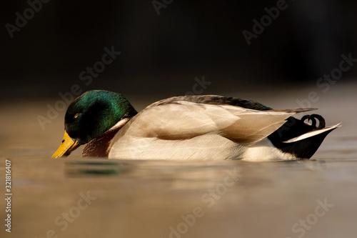 Photo Mallard (Anas platyrhynchos) or wild duck, green head male wild duck mallard, a
