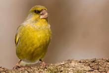 European Greenfinch (Chloris Chloris, Carduelis Chloris) Male Bird, Small Sparrow Like Passerine Bird In The Finch Family Fringillidae.