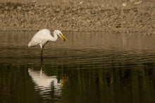 Great Egret (Ardea Alba) Or Co...