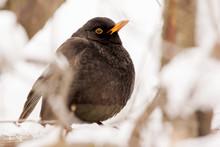 Common Blackbird Male (Turdus ...