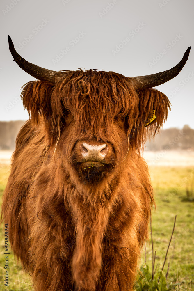 Fototapeta Highland cow close up