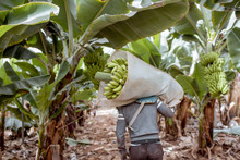 Workers Delivering Cutted Banana Bunches Wrapped In Protective Film To The Truck, Harvesting On The Plantation