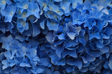 Hydrangea Flowers In Japan Toy...