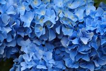 Hydrangea Flowers In Japan Toy...