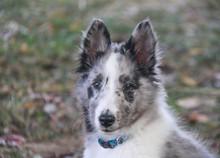 Blue-merle Shetland Sheepdog Puppy