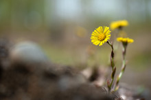 Yellow Coltsfoot (Tussilago Farfara) Flowers In Spring