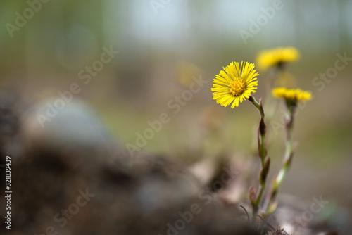 Yellow coltsfoot (Tussilago farfara) flowers in spring Fototapet