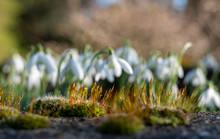 Close Up Of Snowdrops (Galanth...