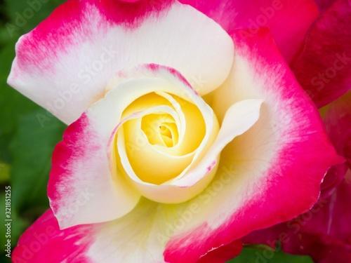 Fototapeta bi-color rose obraz na płótnie