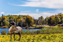 Large Caribou Reindeer Grazes ...