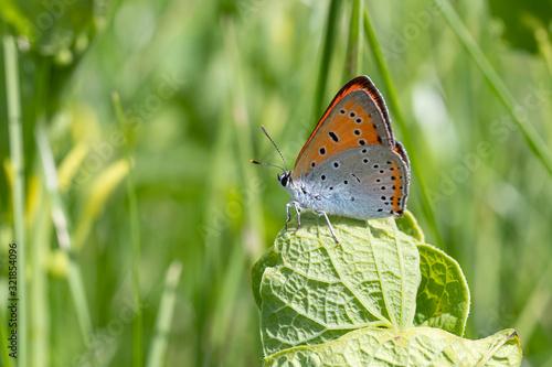 Photo Large copper - Lycaena dispar