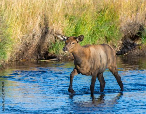 Photo Elk Calf crossing a stream