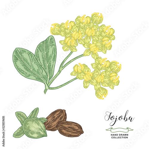 Fototapeta Jojoba (Simmondsia chinensis) branch
