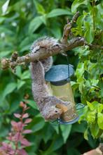 Grey Squirrel Eating In A Garden