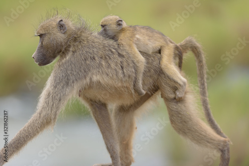 Baby baboon in the wilderness of Africa Wallpaper Mural
