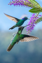 Blue Hummingbird Violet Sabrew...