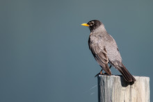 American Robin Perched On A We...