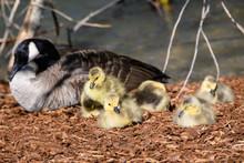 Newborn Goslings Quietly Nappi...