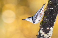 White-Breasted Nuthatch Perched On An Autumn Branch