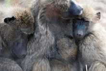 Baboon Family In The Wildernes...